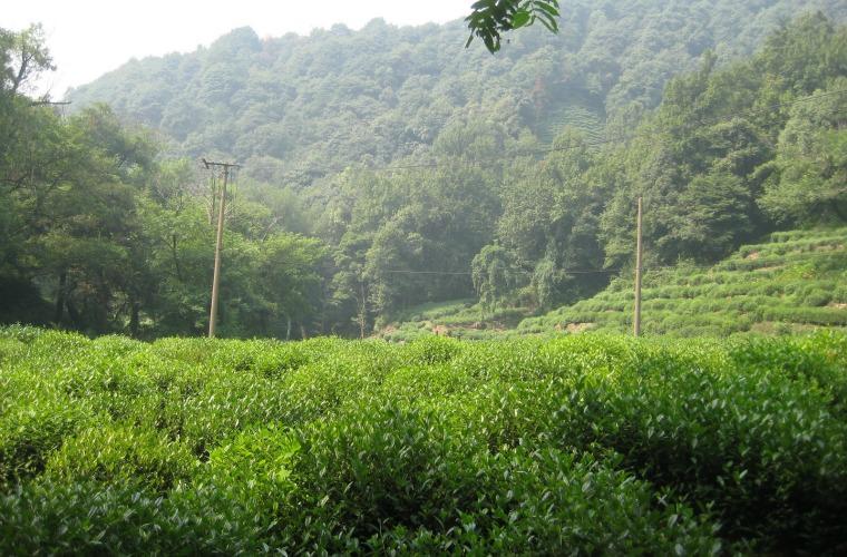 碧山旅行-学习制绿茶