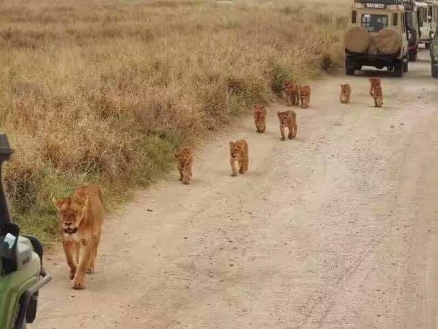我们抓到了猎豹捕羚羊的精彩瞬间,而狮群就在伸手可触及的地方……